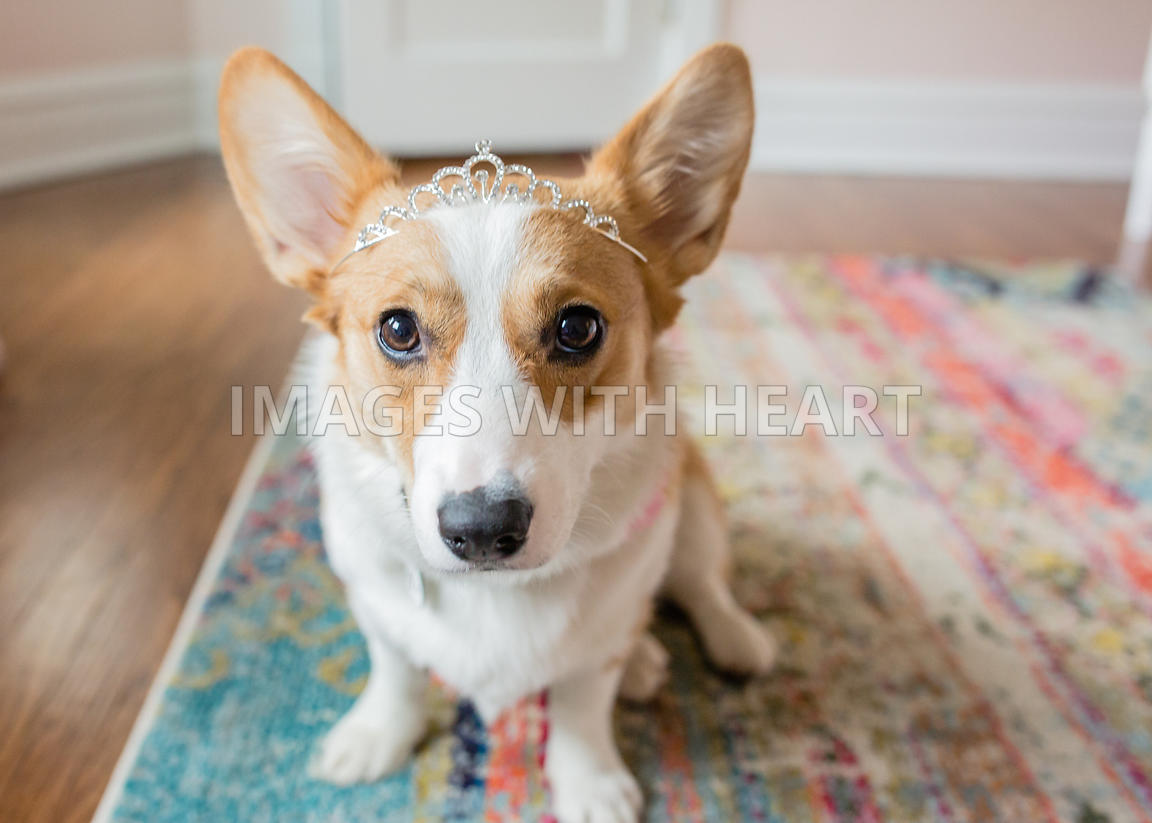 indoors corgi potrait wearing tiara