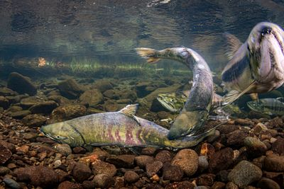 Chum salmon spawning sequence 1-05