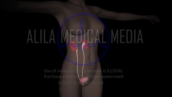 Female urinary system 3D animation.