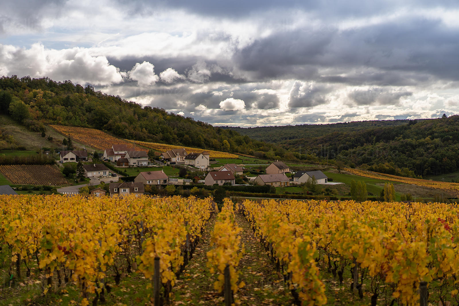 Golden leaves on the grapevines after the grapes have been harvested in Burgundy, France