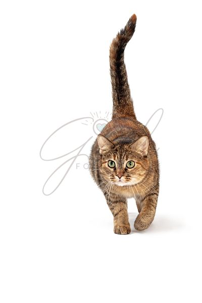 Tabby Cat Walking Forward Tail Up