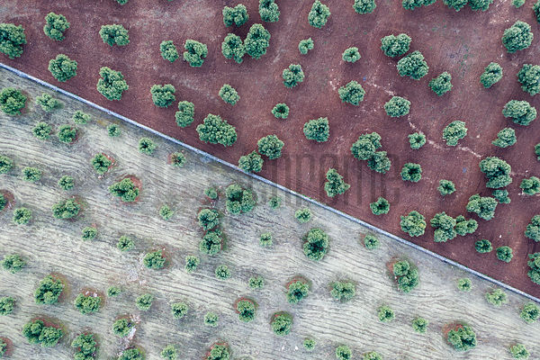 An Aerial View of Ancient Olive Trees