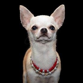 Fancy Chihuahua dog wearing beaded necklaces