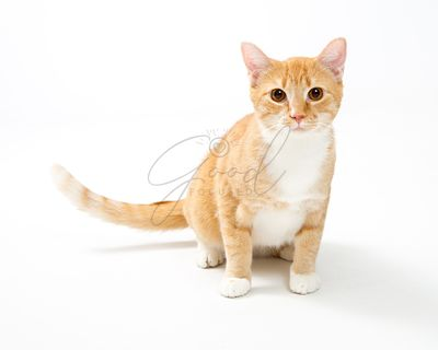 Cute Young Attentive Orange Tabby Cat