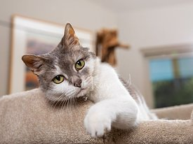 White and Grey Cat Raising Paw from Cat Tree