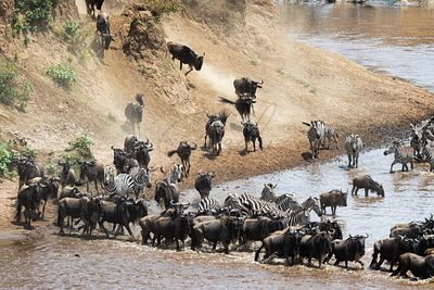 Chaotic Wildlife River Crossing in Kenya