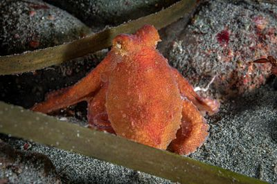 Small Ruby Octopus, Octopus rubescens, hunting along the rocks at night at the Argonaut Wharf in Campbell River.