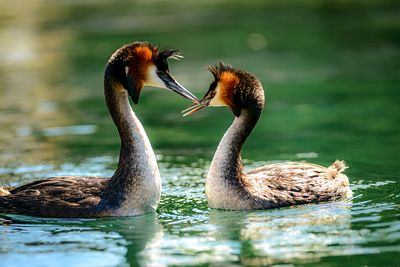 "Two male Crested Grebes ""dancing"" in the waters of Lake Wanaka."