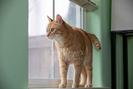 Orange Tabby Cat Standing on Window Sill Peering Out