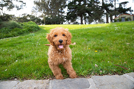 Happy Red Goldendoodle Puppy in Grassy Park