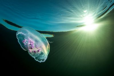 Moon Jellyfish, Aurelia labiata, and sunburst in shallow water