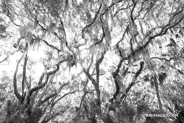 LIVE OAK TREES BRANCHES SPANISH MOSS CUMBERLAND ISLAND GEORGIA BLACK AND WHITE