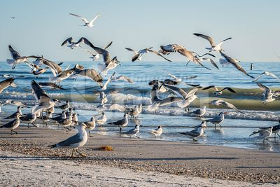 Flock of birds seen soaring high above the the sky in Anna Maria Island, Florida