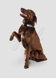 Brown Labrador Mix Dog Raising Paw to Shake