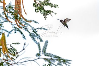 Hummingbird In Flight Isolated on White Sky