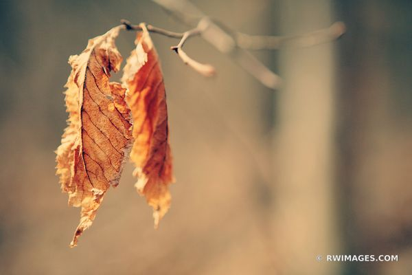 DRY LEAF | STARVED ROCK STATE PARK ILLINOIS