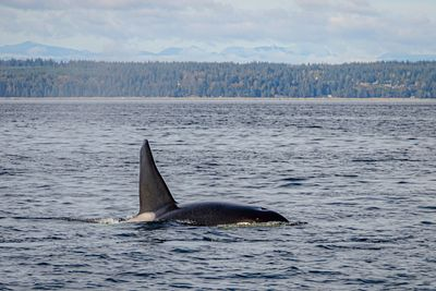 Killer whale near campbell river