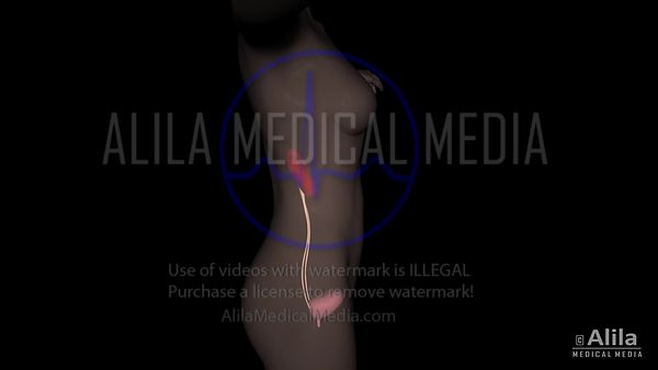 Female urinary organs 3D animation with labels.