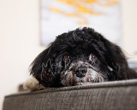 Close-up of worried Havanese Dog with head on couch arm