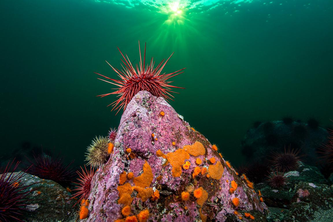 Red Sea Urchin, Mesocentrotus franciscanus, on a rock covered in coraline algae,Orange Cup Corals, and encrusting bryozoans.