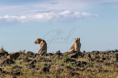 Two Young Male Lions on Kenya Horizon