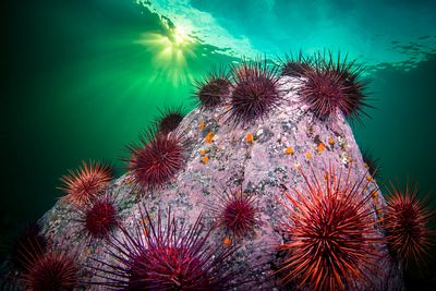 red spiny urchin