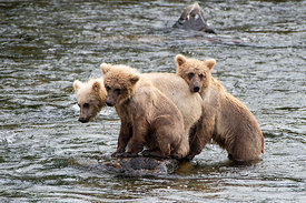 Brown Bear Cubs, Brooks River, Alaska, USA
