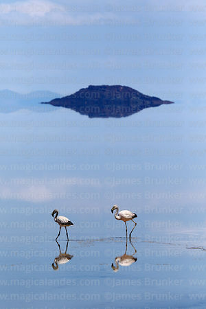 Chilean flamingos (Phoenicopterus chilensis) on Salar de Uyuni in rainy season, Bolivia