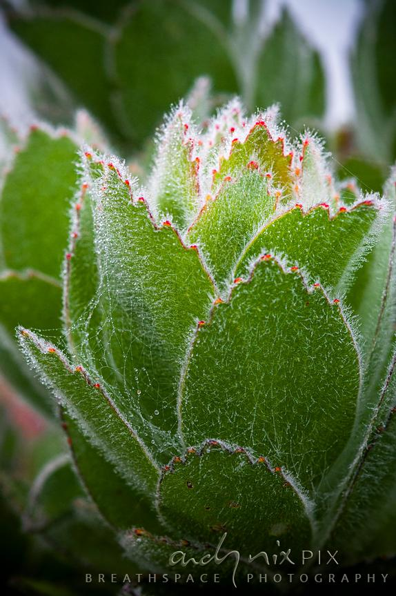 Close-up of Pincusion (Leucospermum) leaves showing hairs trapping mist droplets