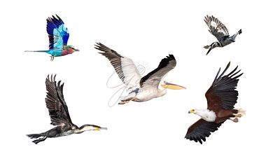 Collection of African Birds In Flight