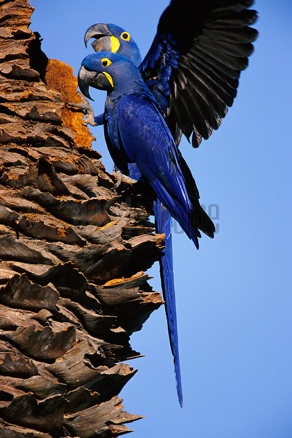 Hyacinth Macaws in Tree