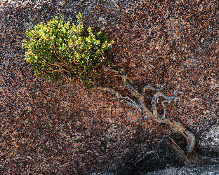 Small Tree Growing out of Fissure in Granite