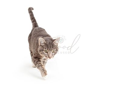 Grey Cat Walking Forward Over White
