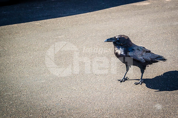 An American Crow in Petrified Forest National Park, Arizona