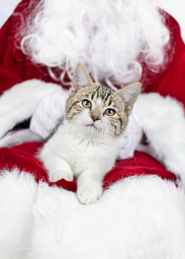 Kitten lying down in Santa's lap