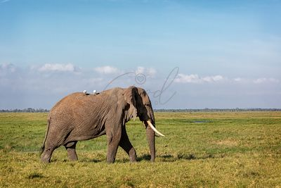 African elephant facing side walking through field in Amboseli, Kenya Africa