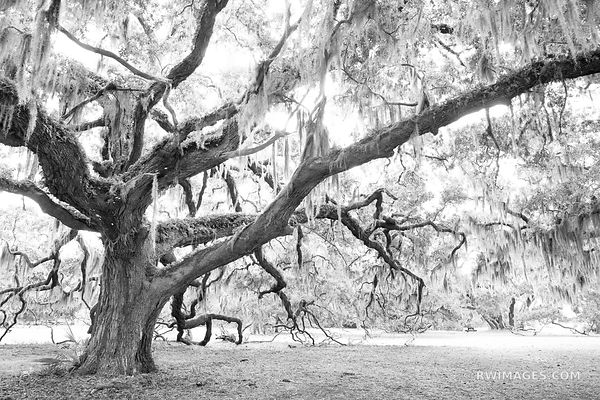 LIVE OAK TREE SPANISH MOSS PLUM ORCHARD CUMBERLAND ISLAND GEORGIA BLACK AND WHITE