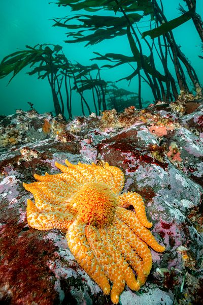 A Sunflower star, Pycnopodia helianthoides. These sea stars are true giants, growing up to one meter across, with many arms.