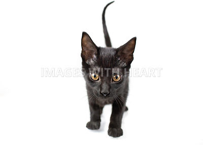 black kitten isolated on white
