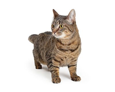 Tabby cat on white standing looking side