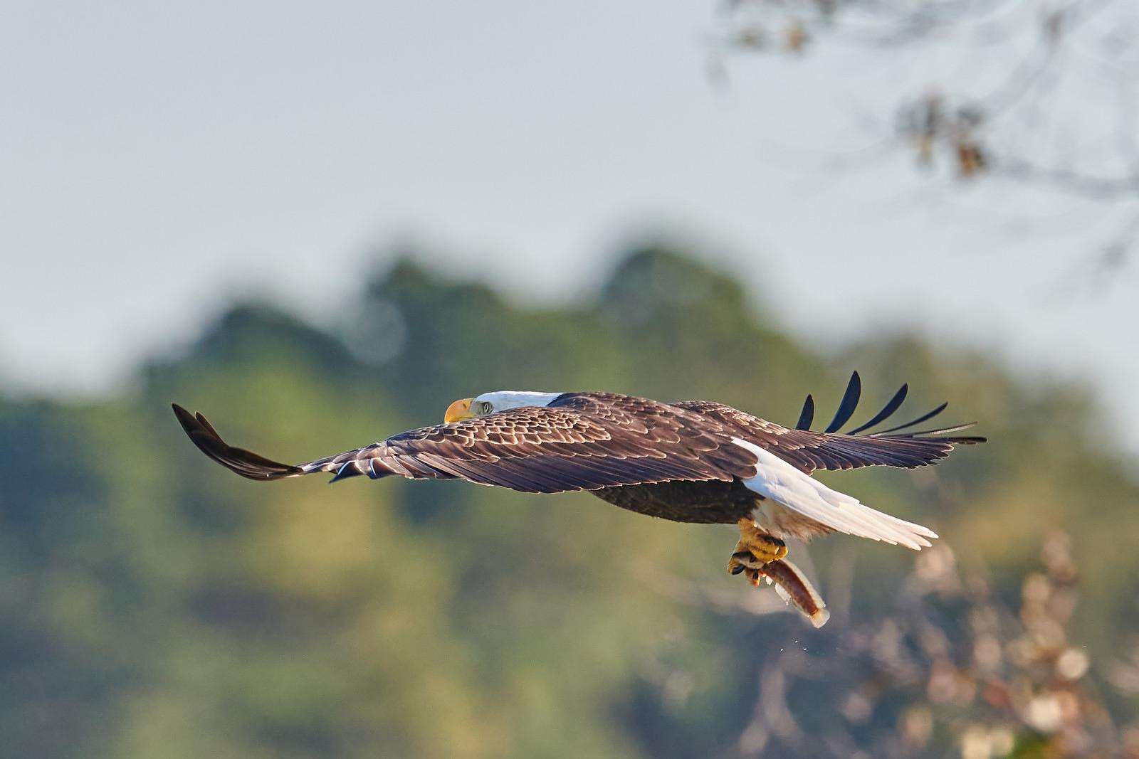 Mature Bald Eagle with Snakehead Fish | Color Photograhic Print