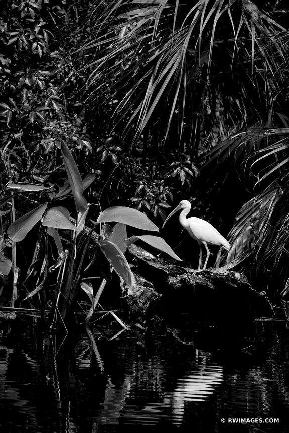 IBIS BIG CYPRESS BEND FAKAHATCHEE STRAND PRESERVE STATE PARK EVERGLADES FLORIDA BLACK AND WHITE VERTICAL