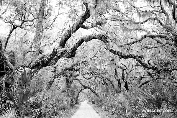 ROAD TO DUNGENESS COASTAL FOREST LIVE OAK TREES SPANISH MOSS PALMETTOS CUMBERLAND ISLAND GEORGIA BLACK AND WHITE