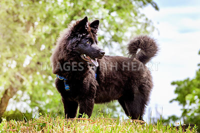 Black Swedish Lapphund puppy on top of hill