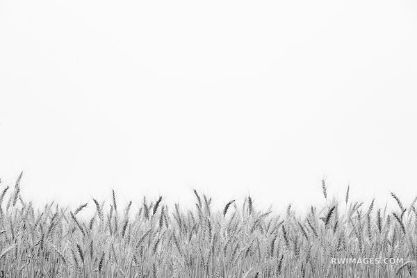 WHEAT WHEAT FIELD FARMLAND PALOUSE EASTERN WASHINGTON STATE BLACK AND WHITE