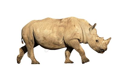 Young White Rhino Calf Isolated