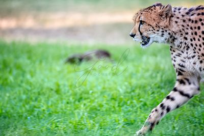 Cheetah Walking Into Frame