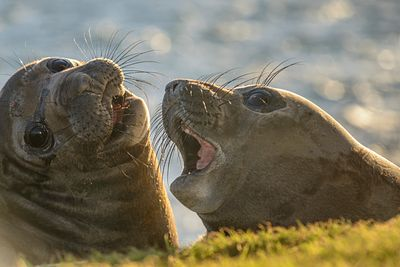 Two Elephant Seal pups at Race Rocks, near Victoria, BC