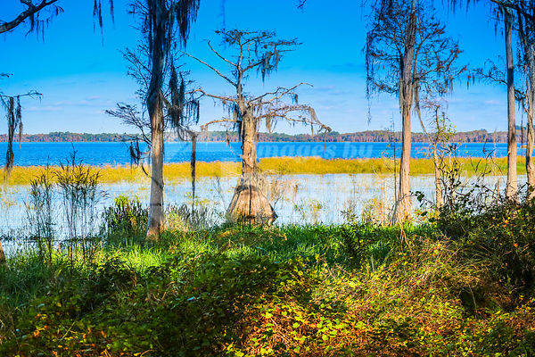 A Bald Cypress along the shore of Lake Louisa in Florida