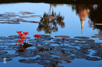 Lotus flowers, tree and chedi reflection